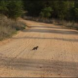 Sokie the Dwarf Mongoose comes of age by Ralph Sibande